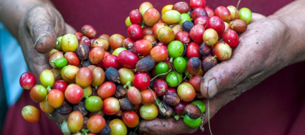 granos de café recién recolectados sin tostar en manos de recolectora